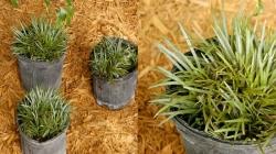 Mondo Grass Short