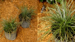 Mondo Grass Long