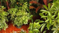 Arboricola Green
