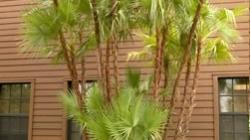 Paurotis Palm