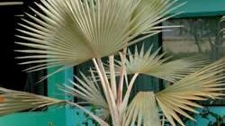 Red Latin Palm