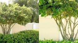 Ligustrum Tree