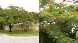 Royal Poinciana - Red
