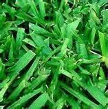 sa turf grass